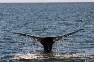 Veľryba biskajská pri ponáraní sa do hlbín severného Atlantiku.