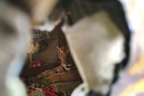 Tigrica odpočíva v dome v indickom štáte Assam.