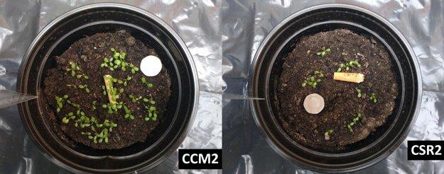 Vľavo: kontrolná vzorka ďateliny plazivej s drievkom po siedmich dňoch. Vpravo: vzorka ďateliny s cigaretovým ohorkom po rovnakom čase. KLIKNITE PRE ZVÄČŠENIE.