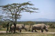 Posledné dve samice nosorožca tuponosého severného.