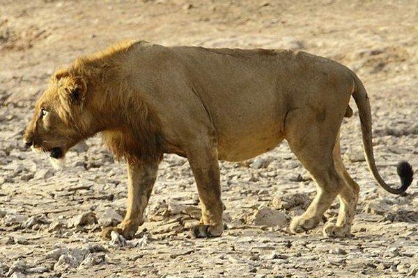 Panthera leo senegalensis. Od iných druhov sa líši hlavne menej výraznou hrivou.