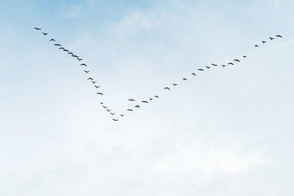 Vtáky lietajú vo formácii. Výskum ukázal, že tak môžu ušetriť energiu.