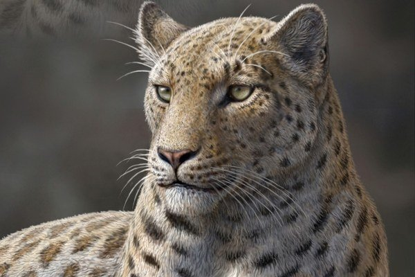 Ilustrácia druhu Panthera blytheae.