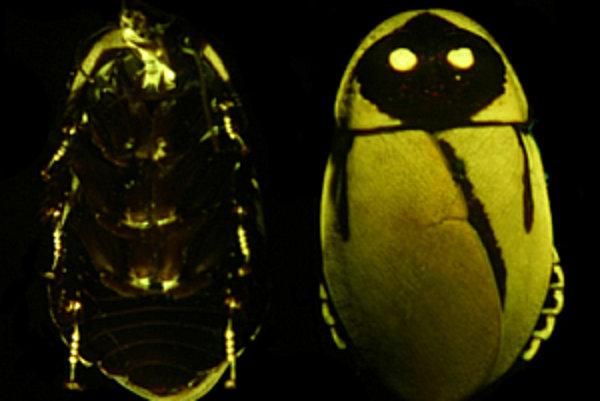 Svetielkujúci šváb Lucihormetica luckae pod fluorescenčným osvetlením. Svietiace lampáše sú dve okrúhle škvrny na štíte a jedna malá asymetrická (svetlý bod pod pravým lampášom). Tungurahua, Ekvádor.