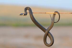 Nepribližovať sa, nechytať, neomotávať okolo krku. Ak človek dodrží tieto pravidlá, nemá sa prečo báť hadieho uštipnutia.