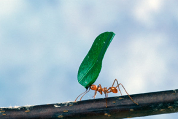 Mravec odnáša kus listu do záhrady.