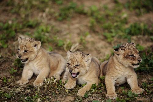 levicata-safari_2_ap.jpg