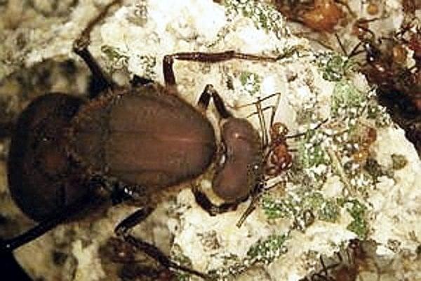 Mravce pestujú huby dlhšie ako človek.