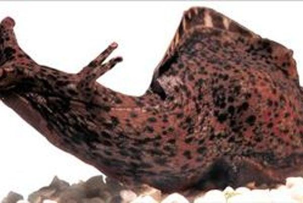 Tím, ktorý viedol Kausik Si, študoval vlastnosti priónov na morskom slimákovi Aplysia californica.