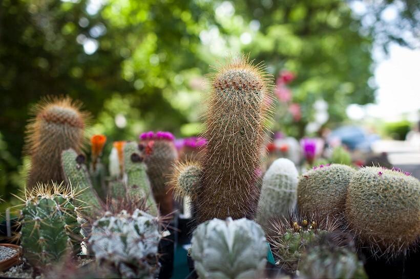 kaktus3-820.jpg