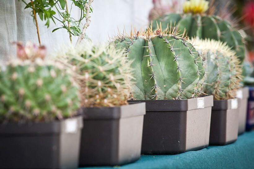 kaktus1-820.jpg