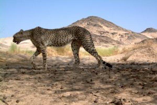 Vzácny saharský poddruh geparda štíhleho (Acinonyx jubatus hecki). Vedci a ochranári na nových snímkach z fotopascí rozpoznali - podľa vzorovania kožuchov - zatiaľ štyri jedince.