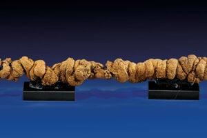 Najdlhší koprolit dinosaura mal vyše jeden meter.