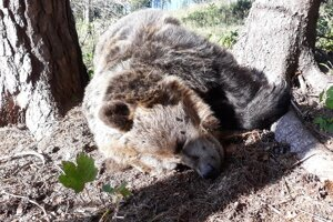 Uhynutý medveď.