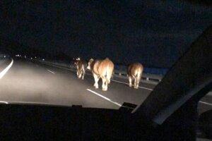 Kravy sa prechádzajú po diaľnici pri Liptovskom Jáne.