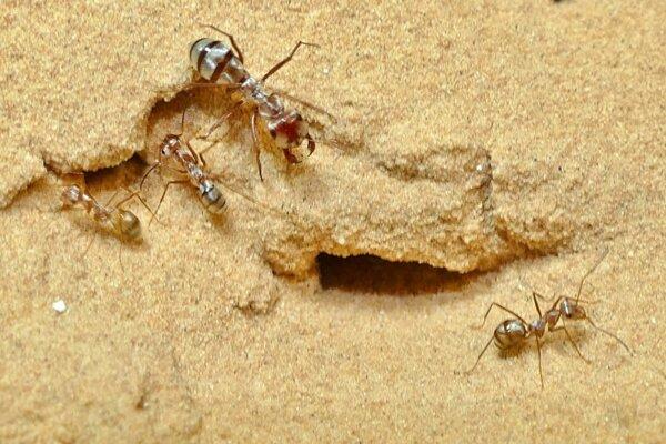 Najrýchlejšie mravce na svete žijú na Sahare.