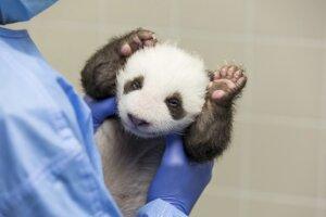 Ide vôbec o prvé pandy veľké narodené v Nemecku.