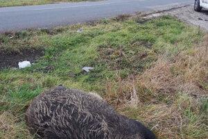 Uhynutá diviačica pri Levoči.
