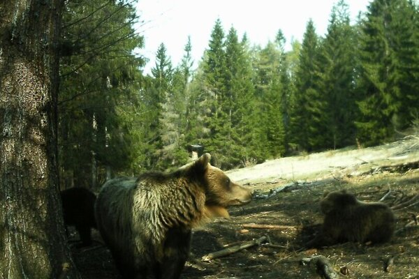 Takto zachytila medvede v okolí Domaniže fotopasca.