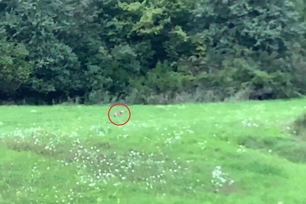 Vlky previedli doslova ukážkový lov pred zrakmi náhodných pozorovateľov.