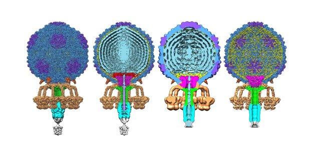 Vonkajšia a vnútorná štruktúra bakteriofága P68. Obrázok ukazuje fága v rôznych častiach jeho životného cyklu.