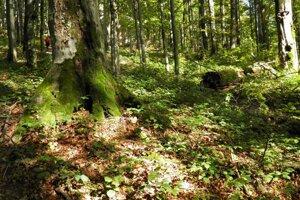 Karpatský bukový prales v NP Poloniny.