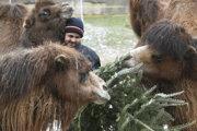 Ťavy dvojhrbé si pochutnávajú na vianočnom stromčeku.