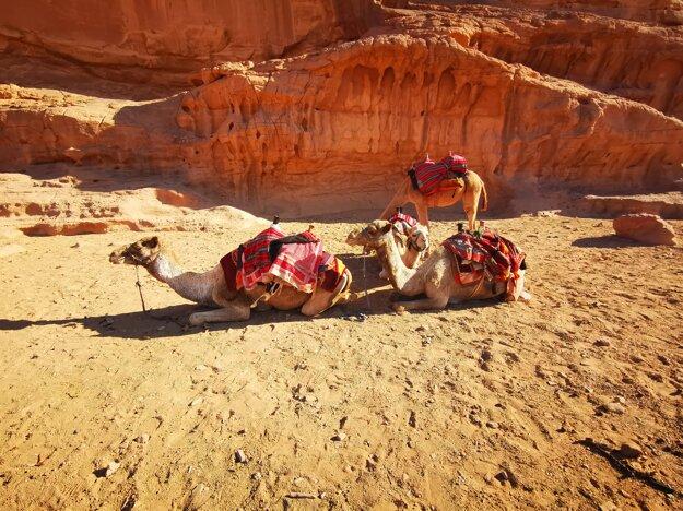 Ťavy, ktoré patria Beduínom vo Wadi Rum