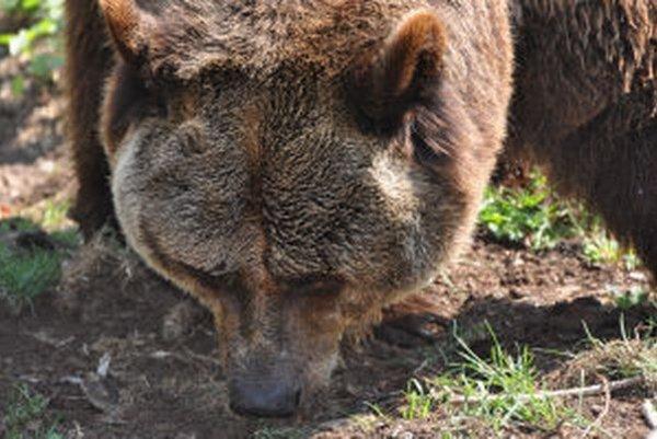 Medveď sa objavil aj v blízkosti obce.