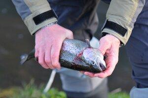 Úlovok pstruha dúhového z rieky Poprad v prvý deň pstruhovej sezóny.