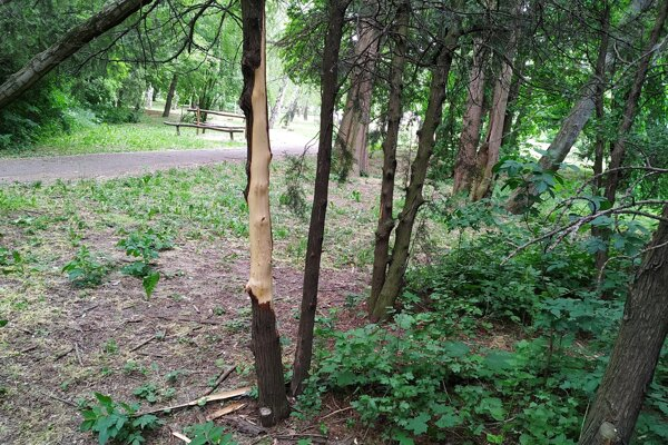 Jeden z poškodených stromov v brezovom háji.