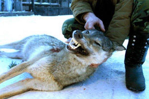 Vlk dravý. Jeho odstrel je limitovaný. Väčšinu roka podlieha ochrane.