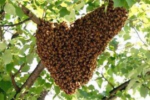 Roj včiel, ktorý opustí domovský úľ, sa najčastejšie najprv usadí na nejakom blízkom strome. Potom putuje.