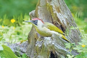 """Spomedzi živočíchov naviazaných na odumierajúce drevo vyniká sfarbením žlna zelená, ozdoba každej záhrady. Spomína sa aj v Bernolákovom slovníku ako """"zelení ďaťel, s bruchem popelavím""""."""