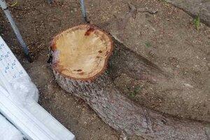 Peň jedného z vyrúbaných stromov vo väznici v Šaci.