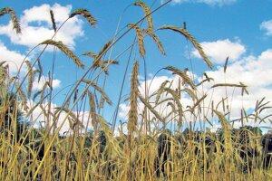 Dozrievajúci porast trsnatej lesnej raže, ktorá sa pestovala aj na Slovensku.