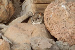 Tenkonožca somálskeho v prírode nevideli od roku 1968.