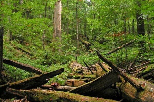 Bukový prales.