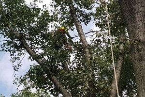 Pilčík v korunách stromu.