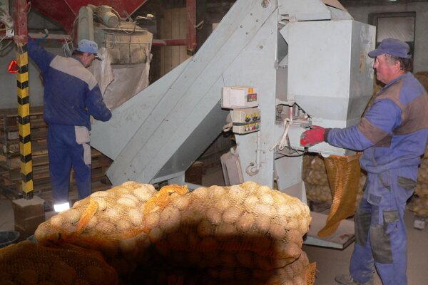 Triedenie zemiakov vSmrečanoch.