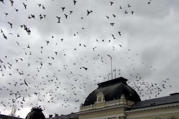 Holuby nad Svätoplukovým námestím.