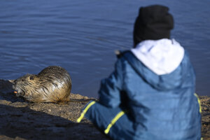 Dievča kŕmi nutriu pri jazierku v obci Skačany. Obec Skačany (okres Partizánske) sa môže pochváliť zvieracou atrakciou. Nutrie, ktoré žijú v blízkosti miestneho jazera, chodia sledovať nielen miestni, ale i ďalší ľudia z blízkeho či vzdialenejšieho okolia. Ľudská prítomnosť zvieratám neprekáža, nechajú sa i nakŕmiť. V Skačanoch 23. novembra 2020.