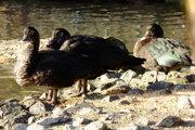 Kačice pižmové sú druhom, u ktorého sa potvrdila vtáčia chrípka.