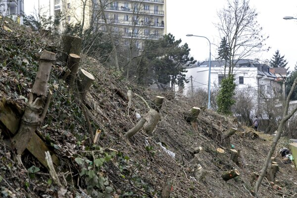 Sporný výrub stromov na Drotárskej ulici v Bratislave.
