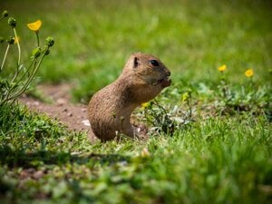 Ground Squirrel in Muránska Planina, Slovakia.