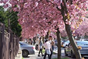 Keď kvitnú sakury, na ulici je rušeno.