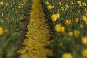 Žlté tulipány kvitnú na tulipánovom poli v belgickom meste Meerdonk .