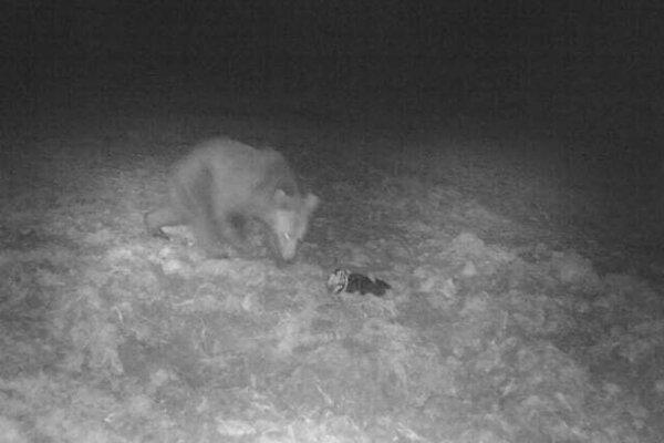 Pohyb medveďa v obci Skalité