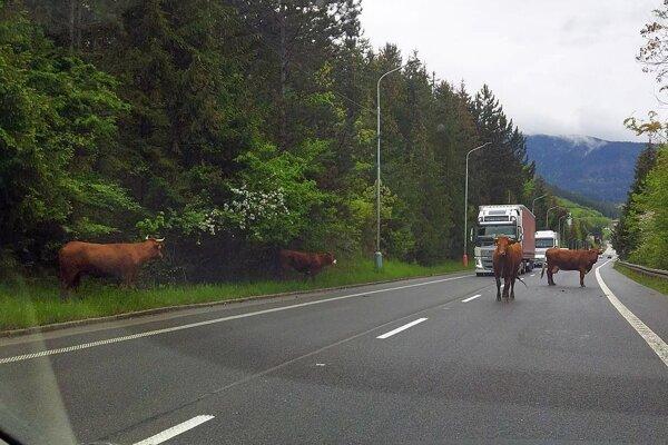 Kravy na ceste v Dolnom Kubíne obmedzili dopravu na hlavnom ťahu.