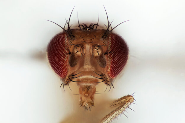 Entomológ Milan Kozánek s kolegom vyvinuli program, v ktorom možno vidieť hmyz v niekoľkostonásobnom zväčšení. Na snímke hlava drozofily, ovocnej mušky.